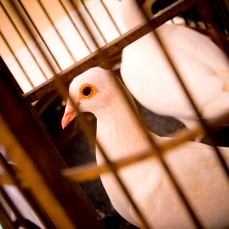 L'amour est un Oiseau Incarcéré